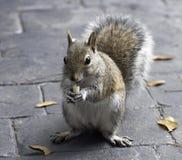 Eichhörnchen, das eine Erdnuss isst Stockfotografie
