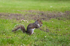 Eichhörnchen, das eine Erdnuss isst Stockbild