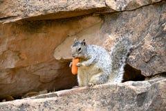 Eichhörnchen, das eine köstliche Karotte isst Stockfoto