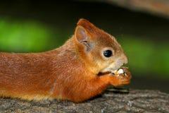 Eichhörnchen, das eine köstliche Nuss isst Stockbild