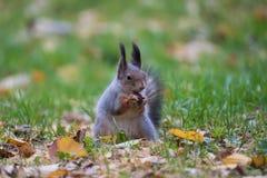 Eichhörnchen, das eine Mutter isst Lizenzfreies Stockbild