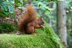 Eichhörnchen, das eine Mutter isst stockfoto