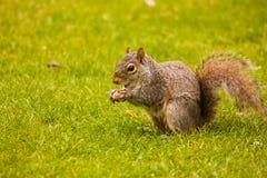 Eichhörnchen, das eine Mutter isst Lizenzfreie Stockfotos