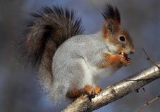 Eichhörnchen, das eine Mutter isst Stockbilder