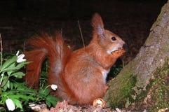 Eichhörnchen, das eine Mutter isst Lizenzfreie Stockbilder