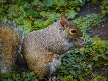 Eichhörnchen, das eine Nuss auf grünen Blättern isst lizenzfreies stockfoto