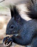 Eichhörnchen, das eine Nuss essend genießt Stockfotografie