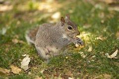 Eichhörnchenessen stockfoto