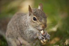 Eichhörnchenessen stockfotografie