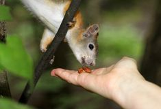 Eichhörnchen, das eine Nuss isst Stockfotografie