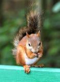 Eichhörnchen, das eine Nuss isst Lizenzfreie Stockbilder