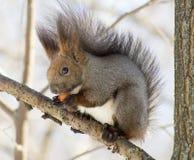 Eichhörnchen, das eine Nuss zerfrisst Stockfotos