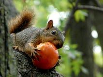 Eichhörnchen, das eine Tomate isst Lizenzfreie Stockfotografie