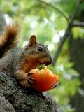 Eichhörnchen, das eine Tomate isst Lizenzfreies Stockfoto