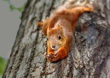 Eichhörnchen, das an einem Baum hängt Stockfoto