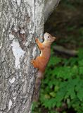 Eichhörnchen, das in einem Baum sitzt Lizenzfreies Stockfoto