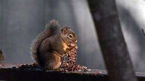 Eichhörnchen, das einen Kiefer-Kegel isst stock video