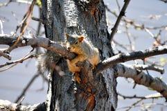 Eichhörnchen, das einer Niederlassung anhaftet Lizenzfreies Stockbild