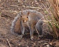 Eichhörnchen, das entlang der Kamera anstarrt Stockbilder