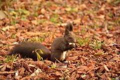 Eichhörnchen, das Erdnüsse isst Stockfoto