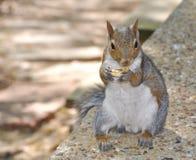 Eichhörnchen, das Erdnuss anhält Lizenzfreies Stockfoto