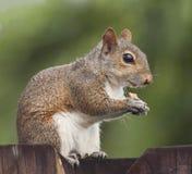 Eichhörnchen, das Erdnuss auf einem Zaun isst Stockfotos