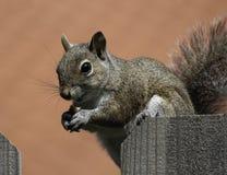Eichhörnchen, das Erdnuss auf Zaun isst Stockbilder