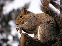 Eichhörnchen, das Erdnuss isst Stockfotos
