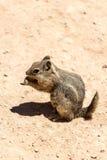 Eichhörnchen, das Erdnuss isst lizenzfreies stockfoto