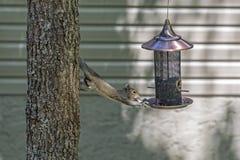 Eichhörnchen, das für Lebensmittel erreicht Lizenzfreie Stockfotos