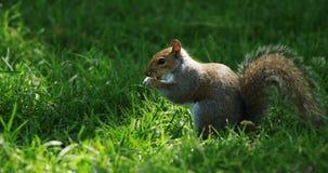 Eichhörnchen, das Frucht im Park isst stock footage