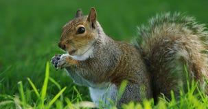 Eichhörnchen, das Frucht im Park isst stock video footage