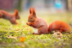 Eichhörnchen, das Haselnuss isst Stockbild
