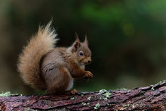 Eichhörnchen, das Haselnuss isst Stockbilder