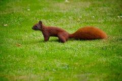 Eichhörnchen, das herum in Garten läuft Lizenzfreies Stockbild