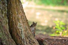 Eichhörnchen, das hinter Baum emporragt Stockfotografie