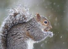 Eichhörnchen, das im Schnee isst stockfotos