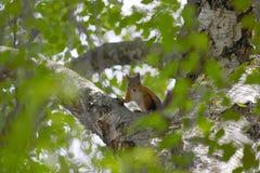 Eichhörnchen, das Kamera in Stockholm betrachtet lizenzfreies stockbild