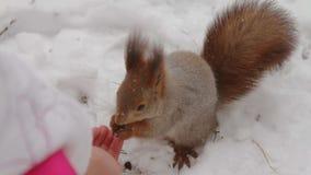 Eichhörnchen, das Kiefernnüsse mit den menschlichen Händen isst stock video