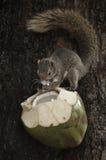 Eichhörnchen, das Kokosnuss auf Baum isst Stockfotos
