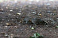 Eichhörnchen, das Lebensmittel sucht Lizenzfreie Stockfotografie