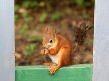 Eichhörnchen, das mit Nüssen sitzt Lizenzfreie Stockbilder