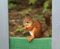 Eichhörnchen, das mit Nüssen sitzt Lizenzfreies Stockbild