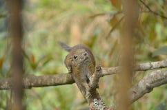 Eichhörnchen, das morgens herumsucht Stockbilder