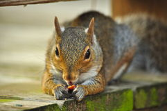 Eichhörnchen, das Mutter isst Stockfotos