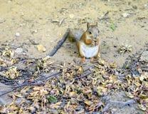 Eichhörnchen, das Muttern isst Stockfoto