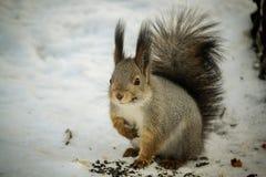 Eichhörnchen, das Muttern isst Stockfotografie