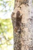 Eichhörnchen, das Nüsse anhaftet und isst Lizenzfreies Stockfoto