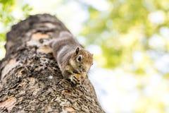 Eichhörnchen, das Nüsse anhaftet und isst Stockfotografie