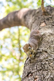 Eichhörnchen, das Nüsse anhaftet und isst Lizenzfreie Stockfotos